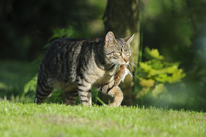 Katze schleppt eine Maus