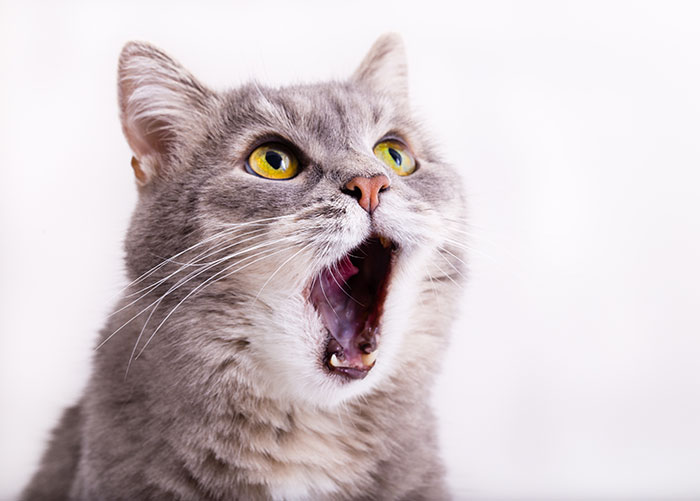Erschreckte, erstaunte Katze